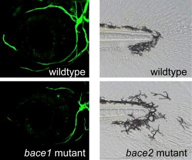 Loss of Bace 1 causes hypomyelinaton (left) shown by reduced myelin (green) surrounding trigeminal axons, whereas loss of Bace 2 results in a distinct pigment migration phenotype (right) as seen in the tail tip